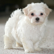 micro chipped Maltese pups