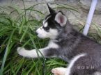 Siberian husky puppy for free adoption