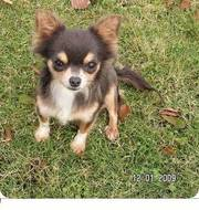 Lovely chihuahua puppy ready to meet a nice home