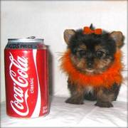 Registered Yorkshire Terrier Puppies