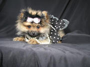 MUST SEE!!! Teacup Pomeranians For Adoption- 10 weeks old