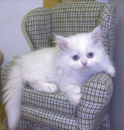 ... Persian kittens - Bolton - Cats for sale, kittens for sale, Bolton