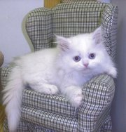 male and female Persian kittens