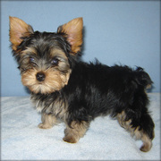 cute yorkie puppies for free adoption.